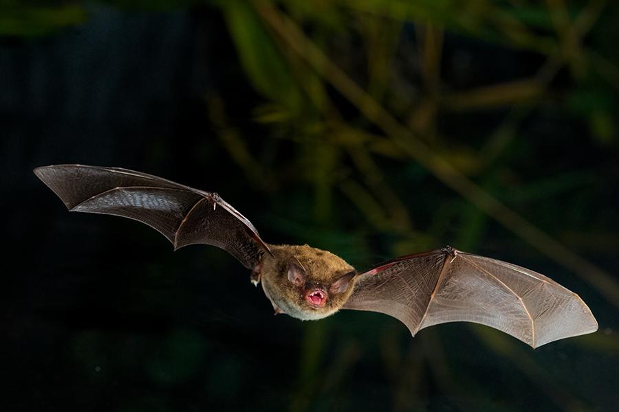 Der Stars des Abends! Wasserfledermaus und Co. auf der Bat Night bei der Jagd beobachten