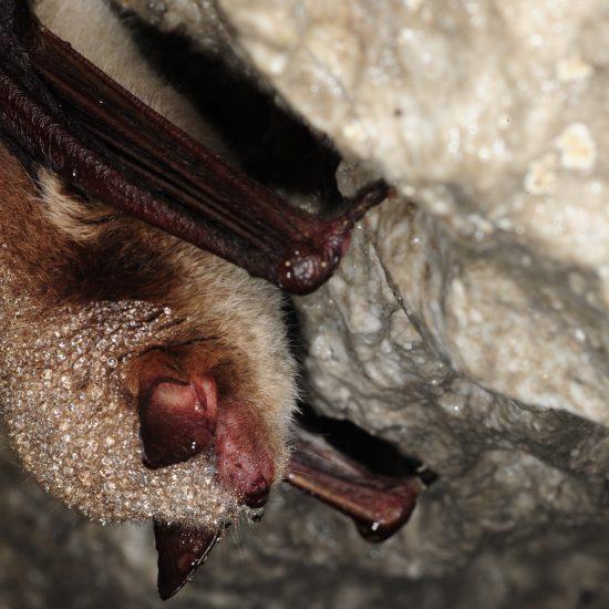 Fransenfledermaus in der Höhle
